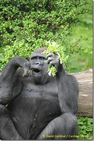 Male Gorilla having lunch. Taken during the B&H photo walk, taken with Sigma 50-500mm lens and Nikon D700 by David Cardinal