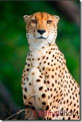 Cheetah_Watermarked