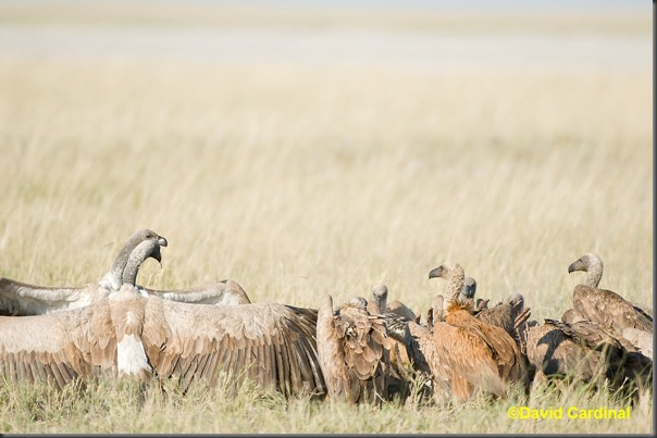 Our first view of the kill was this swarm of Vultures out on the Grassy Plains near our camp in the Kalahari