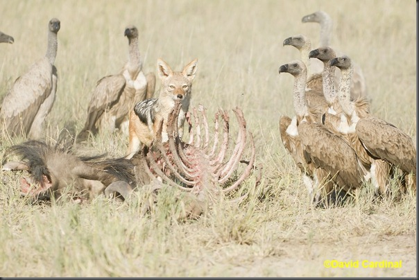 Time seemed frozen just briefly as the Jackal looked at us between bites while the Vultures stared at him