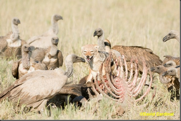 As we approached the Vultures cleared away briefly and we could see a very stubborn Jackal snarling to keep them at bay while he grabbed chunks of meat