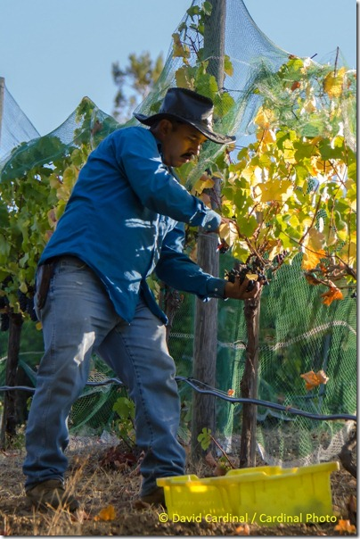 Ev_GrapePicking_0014