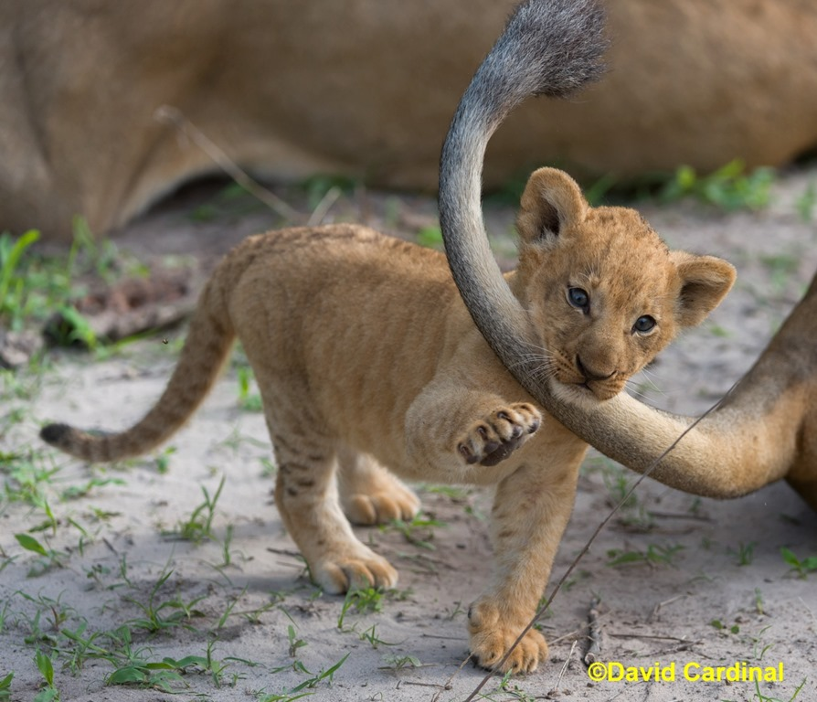 lions tail of tail risks in africa a lion s tail lion s tail
