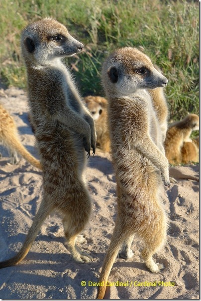 Who says you can't photograph wildlife with a point and shoot? I snagged this closeup JPEG of Meerkats with the LX5 point and shoot.