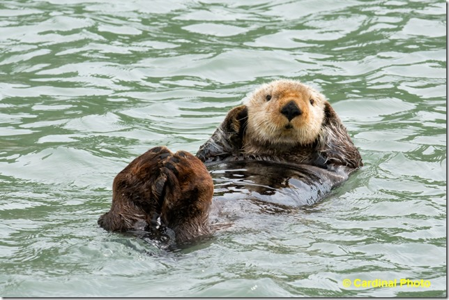 Ma_SeaOtter_1797