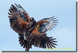 bi_harrishawk_0370