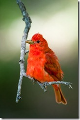 This Summer Tanager was photographed in a tree along the Guadalupe River, without using a blind or artificial perch of any type.
