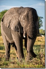 African Elephant from our recent photo safari