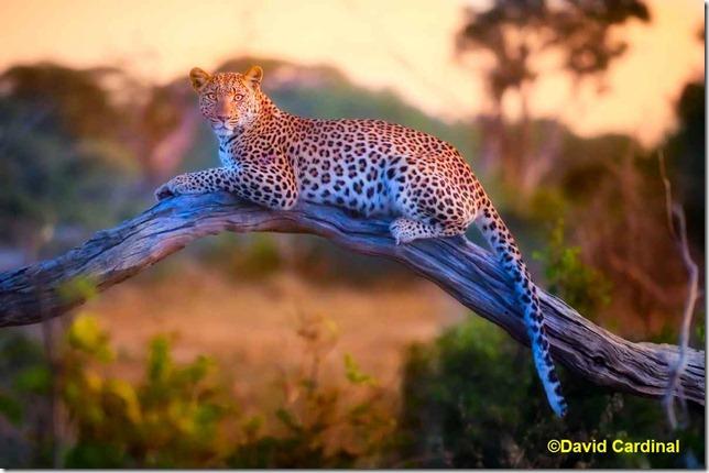 ma_leopard_2754l