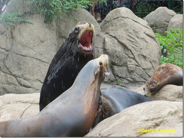 Sealions getting a rain shower bath at the main pool at the Bronx Zoo