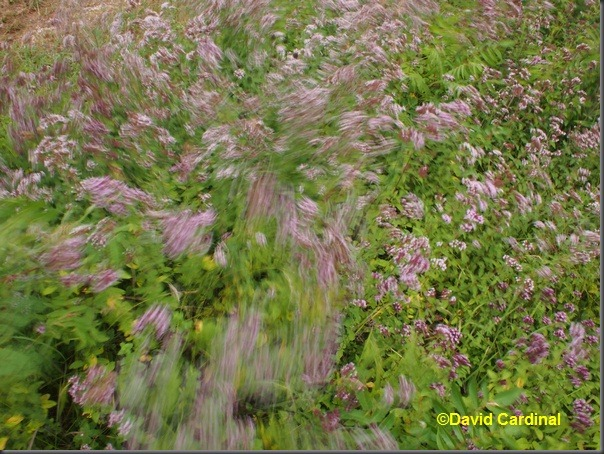 Original JPEG from the Olympus E-P3 with 17mm fixed focal length lens of Oregano Wind Blur