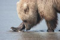 Alaskan Brown Bear Clamming by Betty Hoyt