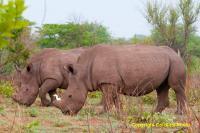 Zambian White Rhinos
