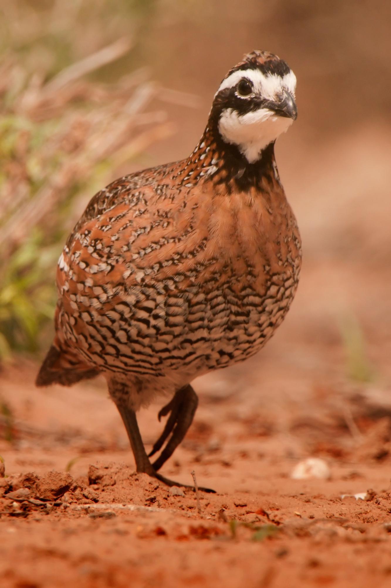 South Texas Bird Safari Trip Report & 2010 Announcement ...