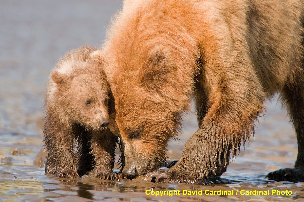 Mother Alaskan Brown Bear teaching her cub to clam