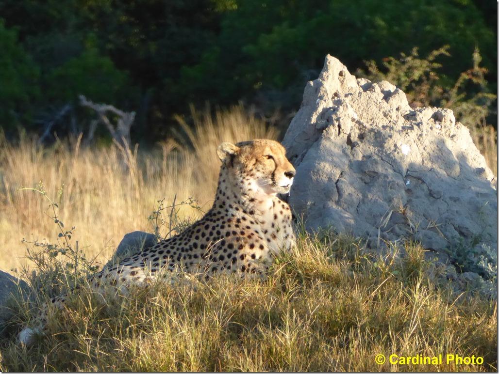 ma_cheetah_1653