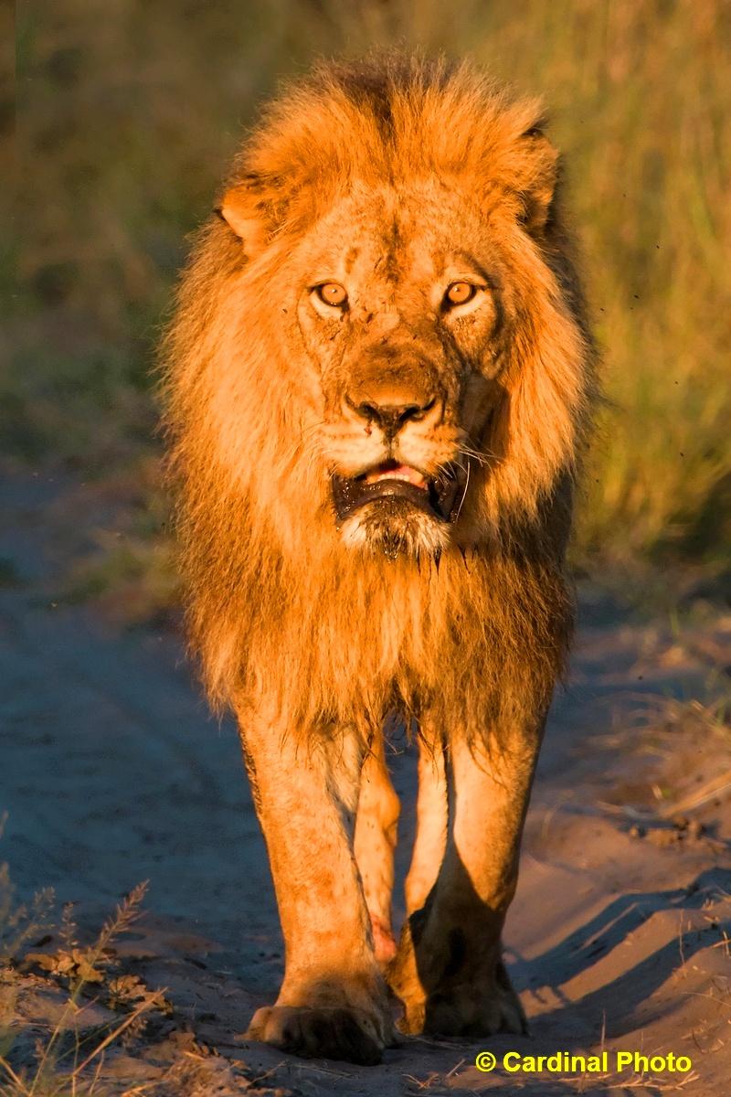ma_lion_10910